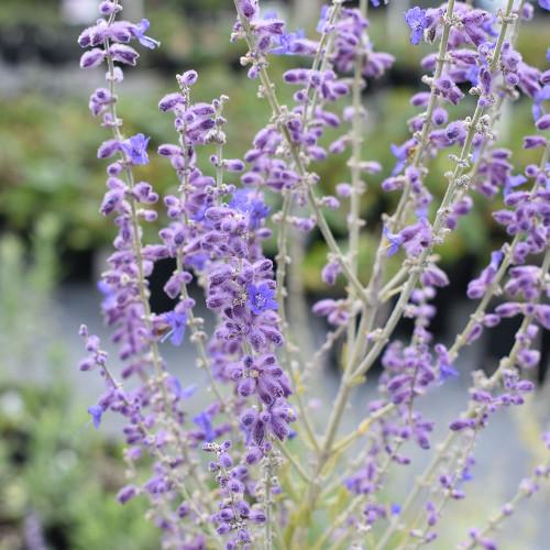 Perovskia atriplicifolia 'Blue Steel'