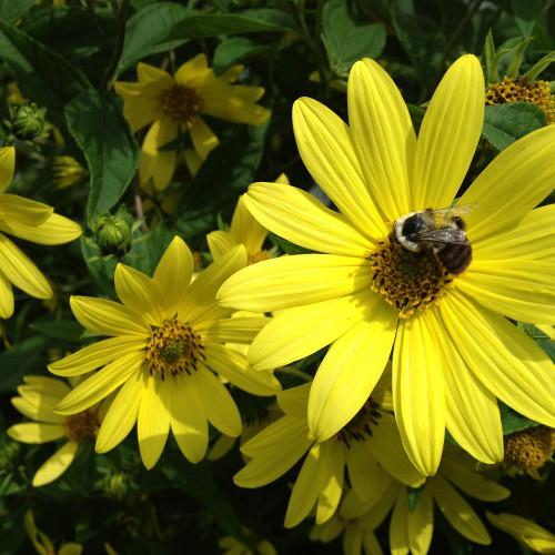 Helianthus x 'Lemon Queen'