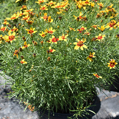 Coreopsis verticillata 'Curry Up'