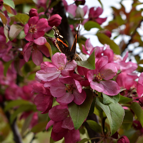 Malus 'Indian Summer'