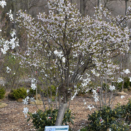 Prunus incisa 'Little Twist'