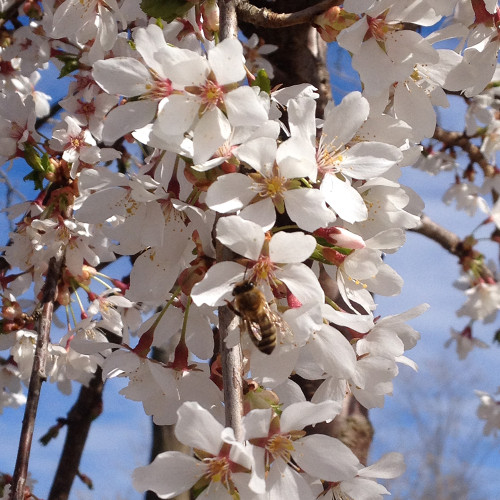 Prunus x 'Snow Fountain'