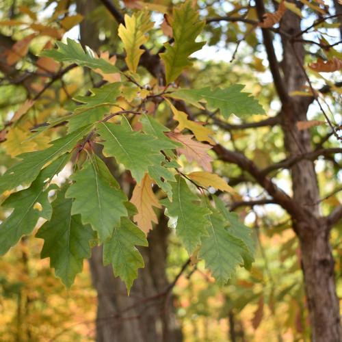 Quercus bicolor