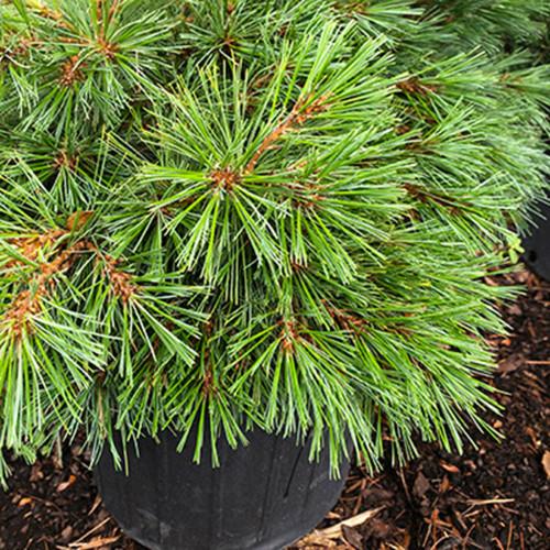 Pinus strobus 'Soft Touch'