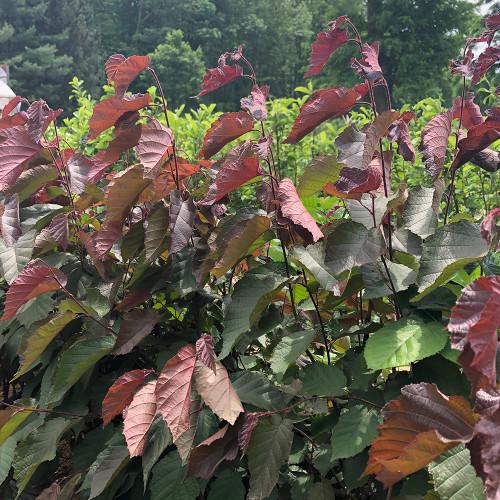 Corylus americana 'Purpleleaf Select'
