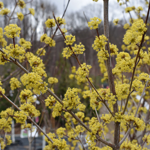 Cornus mas 'Golden Glory'