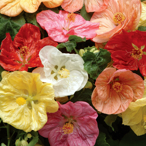 Abutilon 'Bella Mix'