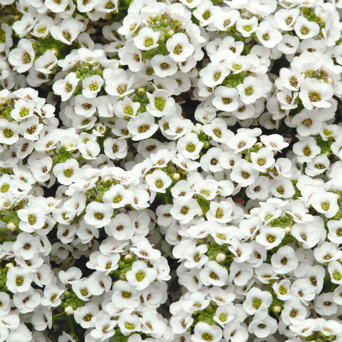 Alyssum 'Crystal White'