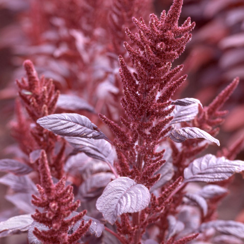 Amaranthus 'Velvet Curtains'