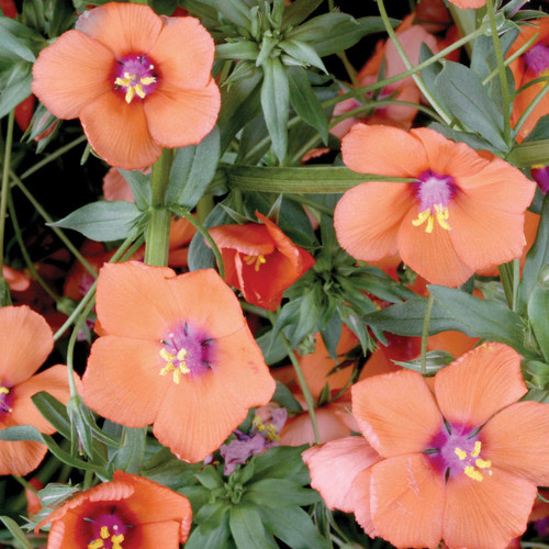 Anagallis 'Wildcat Mandarin'