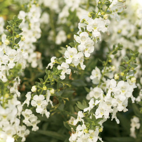 Angelonia  'White Improved'