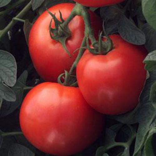 Bush Early Girl Tomato