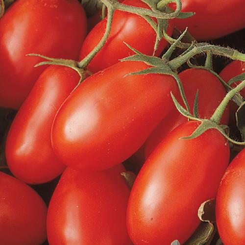 La Roma III Tomato