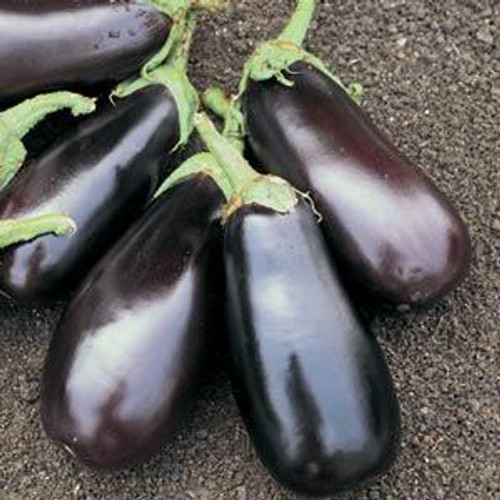 Classic Eggplant