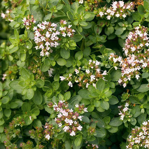 Sweet Marjoram (Herb Start)