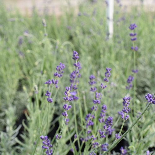 Hidcote Blue Lavender (Herb Start)