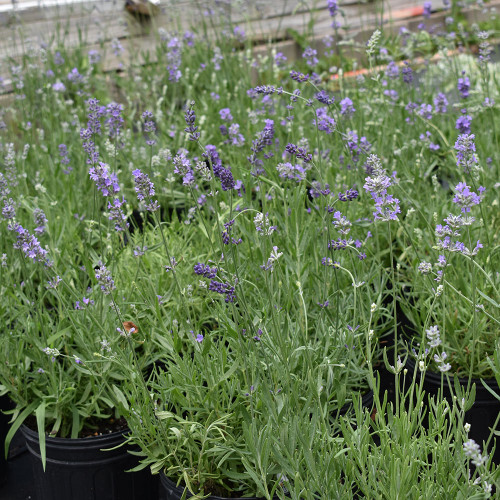 Munstead Lavender (Herb Start)