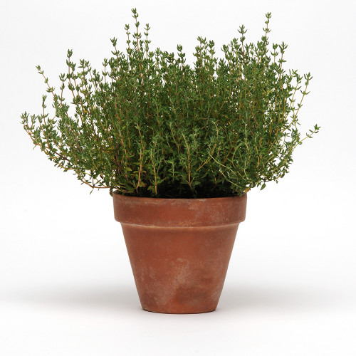 English Thyme (Herb Start)