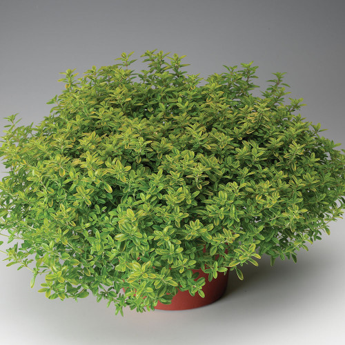 Lemon Variegated Thyme (Herb Start)