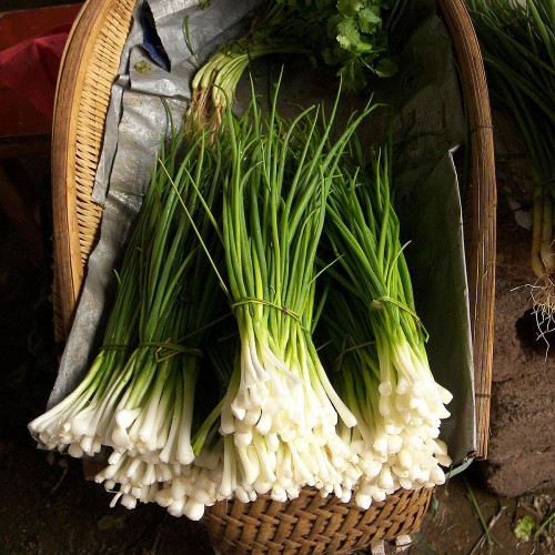 Onion Chives (Herb Start)