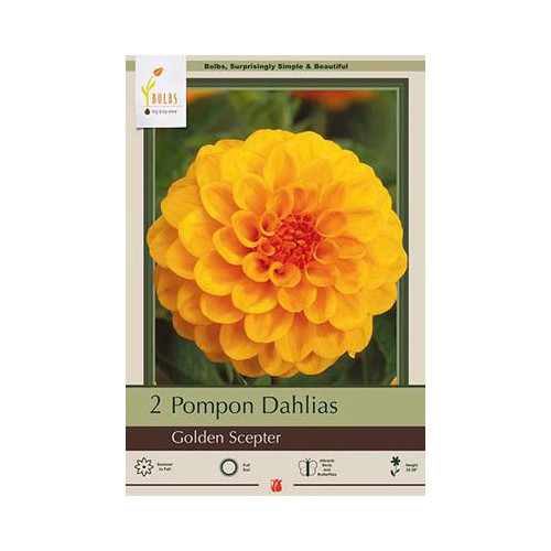 Dahlia Pompon 'Golden Scepter'