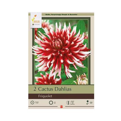 Dahlia 'Friquolet'