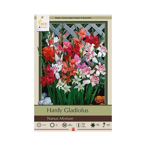 Gladiolus Nanus 'Mixture'