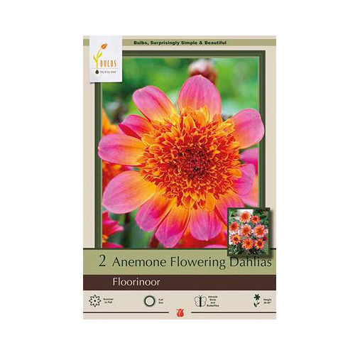 Dahlia Anemone Flowering 'Floorinoor'