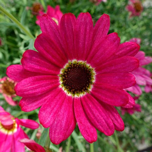 Argyranthemum 'Grandaisy Dark Pink'
