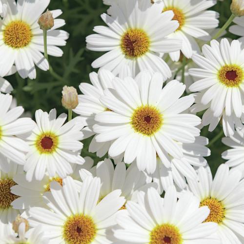 Argyranthemum  'Grandaisy White'