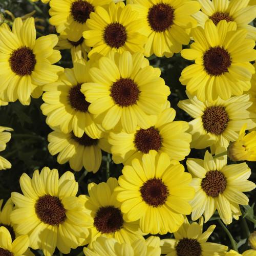 Argyranthemum 'Grandaisy Yellow'