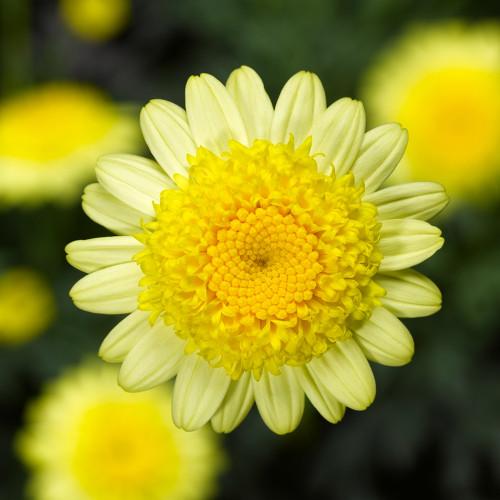 Argyranthemum 'Sassy Dbl Yellow'
