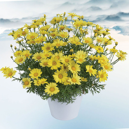 Argyranthemum 'Sunny Spring'