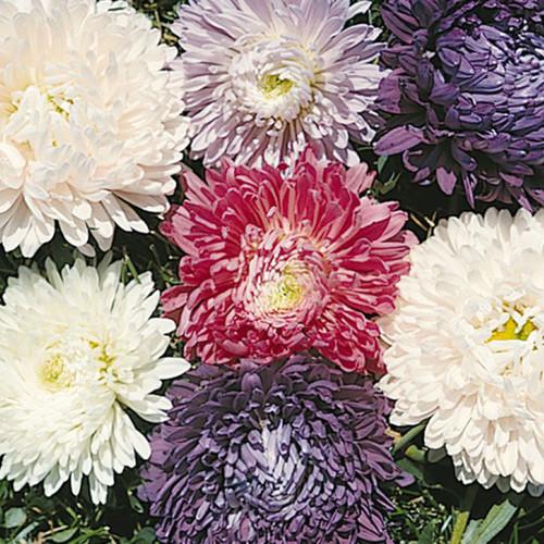 Aster 'Ball Florist Mix'