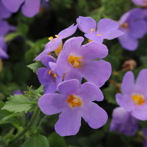 Bacopa Scopia 'Gulliver Blue'