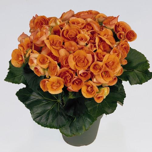 Begonia 'Batik'
