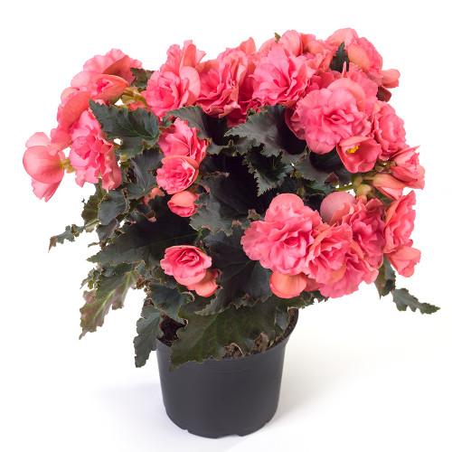Begonia 'Chloe Coral Pink'