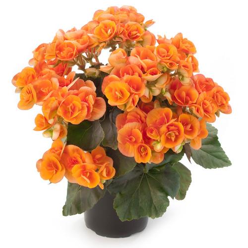 Begonia 'Dark Britt'