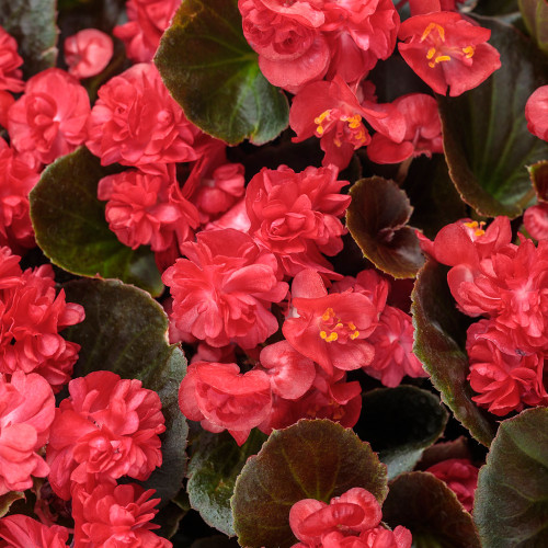 Begonia 'Double Up Red'