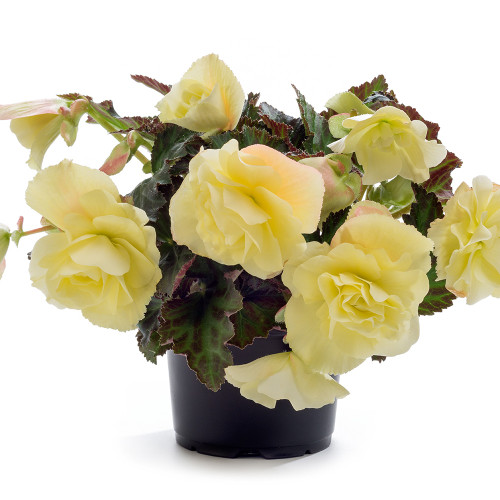 Begonia 'Fragrant Falls lemon'
