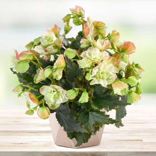 Begonia 'Frivola Magic'