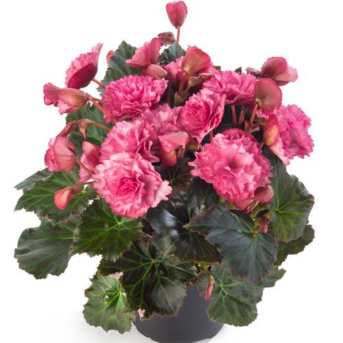 Begonia 'Frivola Pink'