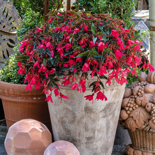 Begonia 'Groovy Rose'