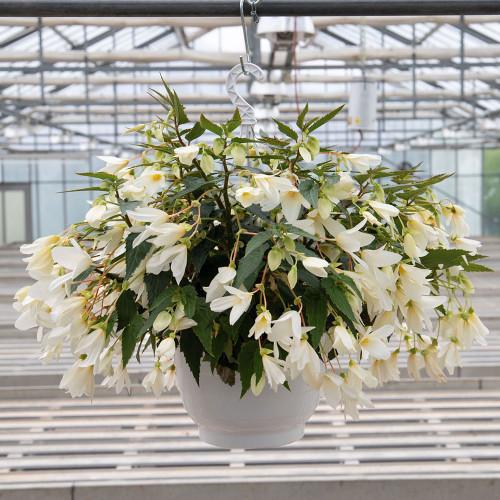Begonia 'Groovy White'