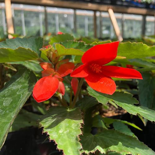 Begonia 'I'conia Bacio Orange'