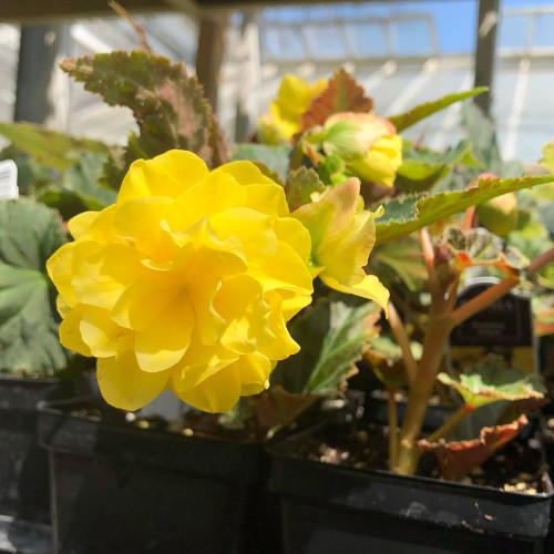 Begonia 'I'conia Portofino Yellow