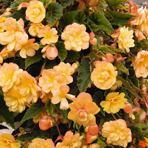 Begonia 'Illumination Apricot'