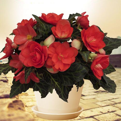 Begonia 'Miss Malibu'