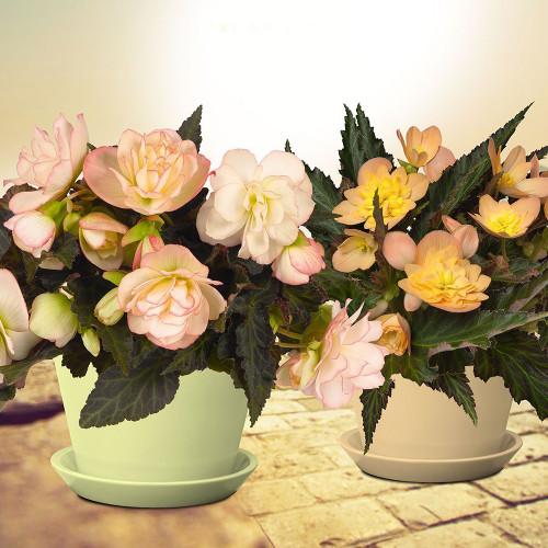 Begonia 'Ms. Montreal'