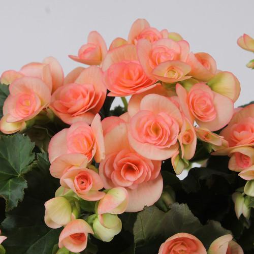 Begonia 'Nicole Stone'